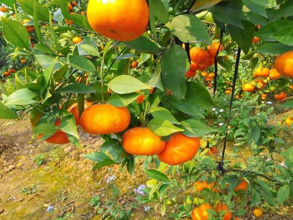Kỹ thuật trồng và chăm sóc Cam Canh
