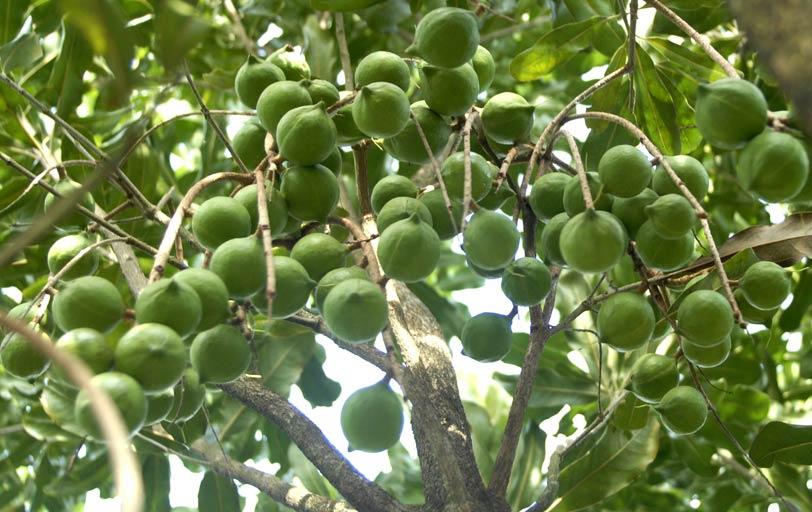 Cây Mắc ca: Kỹ thuật trồng và chăm sóc