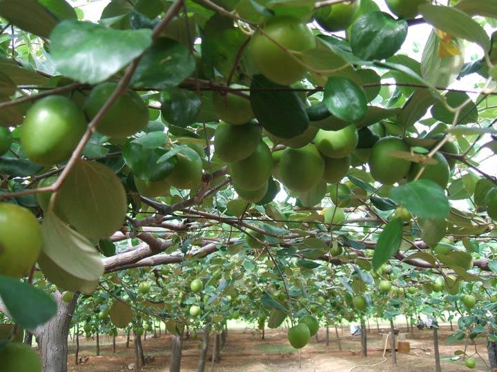 Kỹ thuật trồng cây Táo Đại