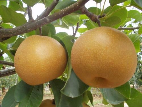 Kỹ thuật trồng cây Lê Nâu (Mắc Cọp)