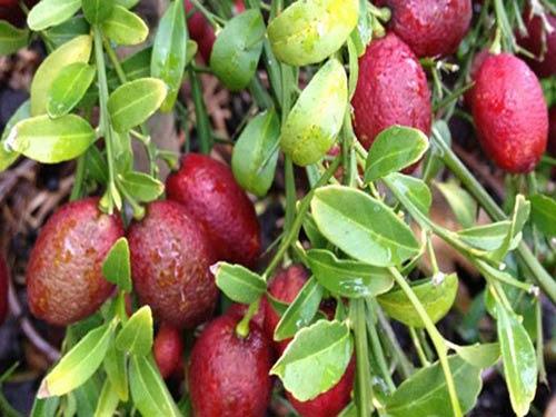 Kỹ thuật trồng cây Chanh Đỏ