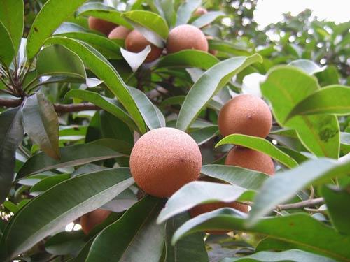 Kỹ thuật trồng cây Hồng Xiêm Xoài