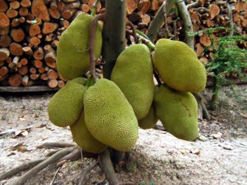 Kỹ thuật trồng cây Mít Thái (Siêu Sớm)