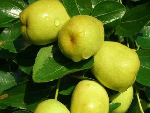 Kỹ thuật trồng cây Táo Đào Vàng