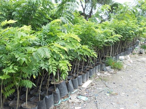 Kỹ thuật trồng cây Sưa Đỏ