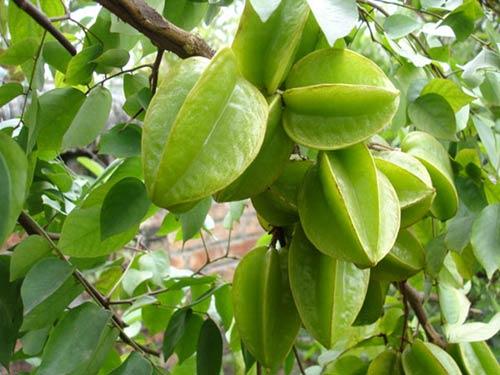 Kỹ thuật trồng cây Khế Chua