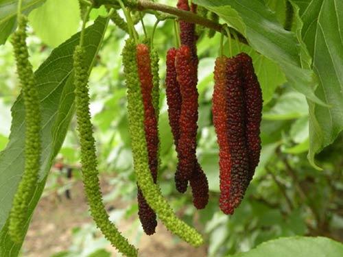 Cây dâu quả dài Đài Loan 12